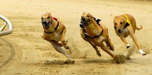 Cani-da-corsa-razza-Greyhound-300x148