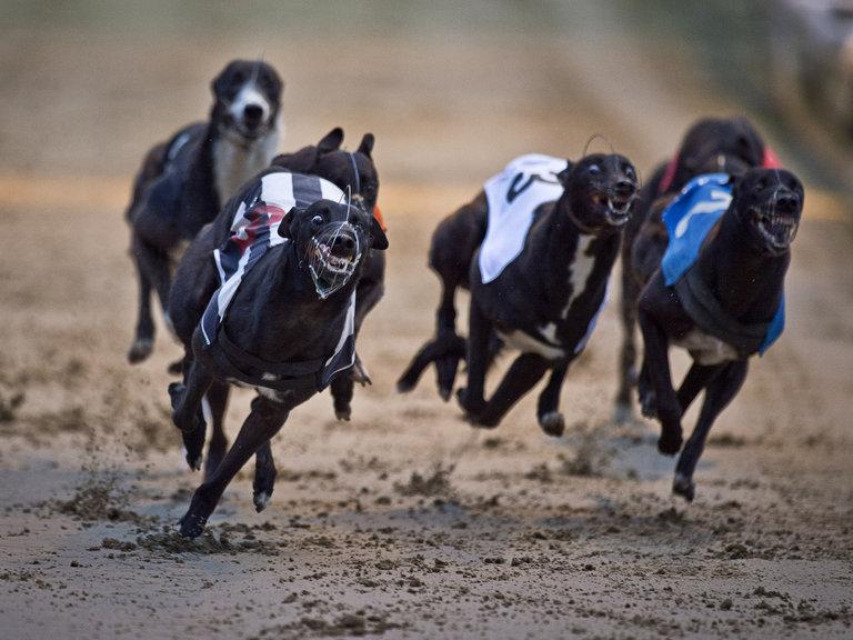 greyhounds_3149292